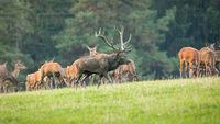 Red deer herd grazing on meadow in autumn nature.