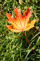 Maple Leaf in Autumn (Acer platanoides)