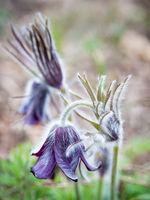 pasqueflower blooming in Spring