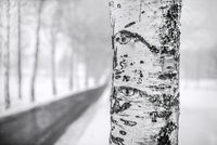 The birch next to the road