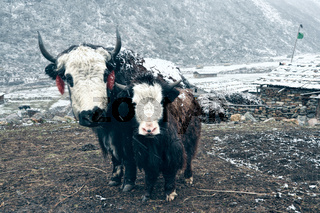 Yak standing with its adorable young at the foot of a snowy slope