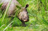 Rhino in Nepal