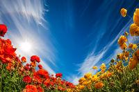 Blooming of garden buttercups