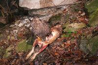 Eurasian buzzard