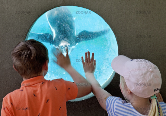 Two children want to touch a Humboldt penguin, (Spheniscus humboldti), zoo, Cologne, Germany, Europe