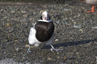 male long-tailed duck which stands on the rocky shores of the ocean