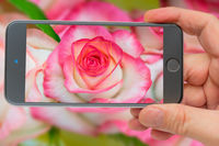 Rose on smartphone screen. Beautiful fresh rose. Blooming pink bud. Spring flowering roses.