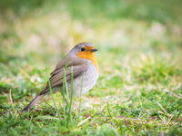 Robin in the meadow