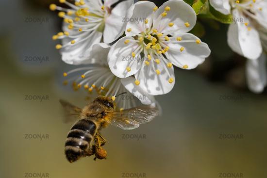 Biene bestaeubt  Obstbaum