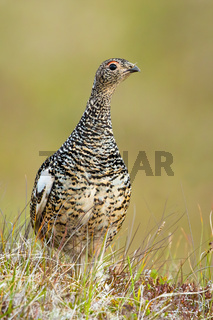 Rock ptarmigan female standing on meadow in summer nature.
