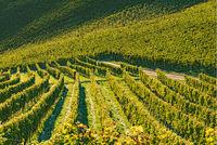 Rows Of Vineyard Grape Vines. Autumn Landscape. Austria south Styria.
