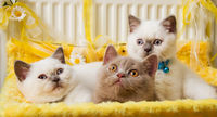 White and Fawn British Shorthair Kittens