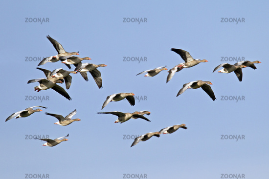 Greylag Goose flock of birds in flight