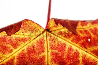 Blatt des Berg Ahorn im Herbst