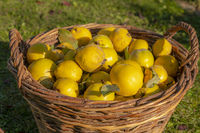 Ripe yellow quinces lie in a wicker basket against a blurred background