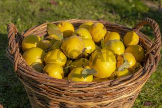 Reife gelbe Quitten liegen in einem Weidenkorb vor unscharfem Hintergrund