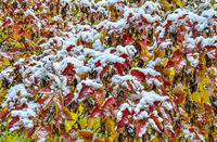 First snow on colorful autumn foliage of Acer negundo tree after snowfall