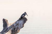 Pied Kingfisher, Chobe Botswana wildlife