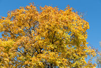 bright glowing maple in autumn - Norway maple against a blue background