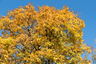 kräftig leuchtende Ahorn im Herbst - Spitzahorn bei blauem Hintergrund