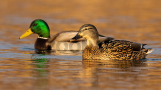 Two mallards swimming in water in autumn nature.