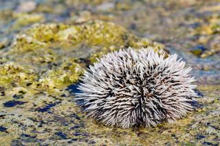 One white sea urchin on rock