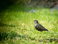Starling in a meadow in spring