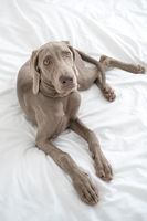 Tired sleepy Weimaraner pointer dog resting and lying on bed covered with white bed sheet in bedroom