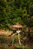 Macrolepiota procera, the parasol mushroom