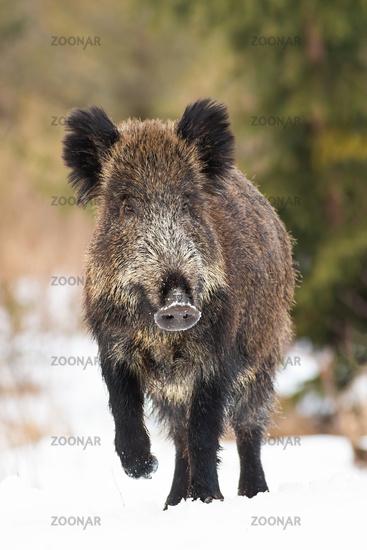 Wild boar walking on meadow in wintertime nature in vertical composition.