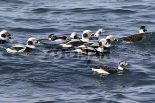 small flock of long-tailed ducks floating along the shore of a winter day