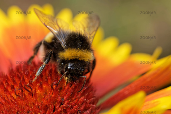 garden bumblebee on a blanket flower