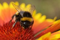 garden bumblebee on a blanket flower