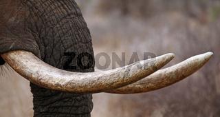 Elefantenstoßzähne, Kruger Nationalpark, Südafrika