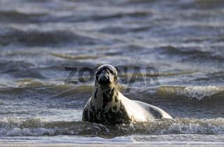 Kegelrobben-Weibchen in der Brandung beobachtet das Robbenbaby am Strand / Grey Seal cow in the breakers watching alert the pup on the beach - (Gray Seal - Atlantic Grey Seal) / Halichoerus grypus