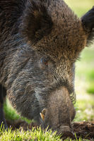 Wild boar feeding on meadow in summer nature in detail.
