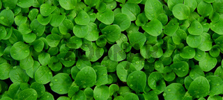 foliage of corn salad, mache, lambs lettuce leaf in green texture with rain water drop
