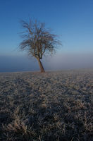Apple tree solist above the fog on a frosty meadow