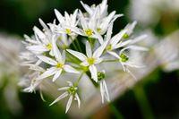 Flowering wild garlic leek