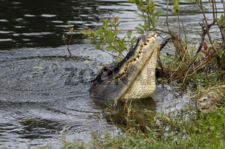 American alligator (Alligator mississippiensis) water dancing in Everglades National Park, Florida