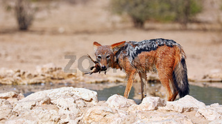 Schabrackenschakal mit Beute, Kgalagadi-Transfrontier-Nationalpark, Südafrika, (Canis mesomelas) | black-backed jackal with his prey, Kgalagadi Transfrontier National Park, South Africa, (Canis mesomelas)
