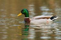 Mallard floating on river in springtime nature.