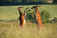 Two red deer hinds fighting on meadow in summertime nature