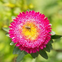 Pink aster flower with spider