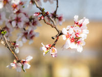 Almond blossom on tree in spring