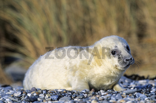 Kegelrobbenbaby liegt aufmerksam die Umgebung beobachtend am Strand / Grey Seal pup watching wakefully the environment on the beach - (Gray Seal - Atlantic Grey Seal) / Halichoerus grypus