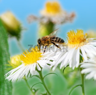 Bee collecting nectar at a white aster blossom