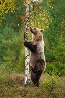 Female brown bear climbing thin birch tree on heathland in autumn nature