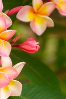 Pink plumeria fragrance among beautiful flowers.