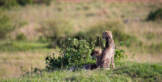 A cheetah mother with two children in the Kenyan savannah